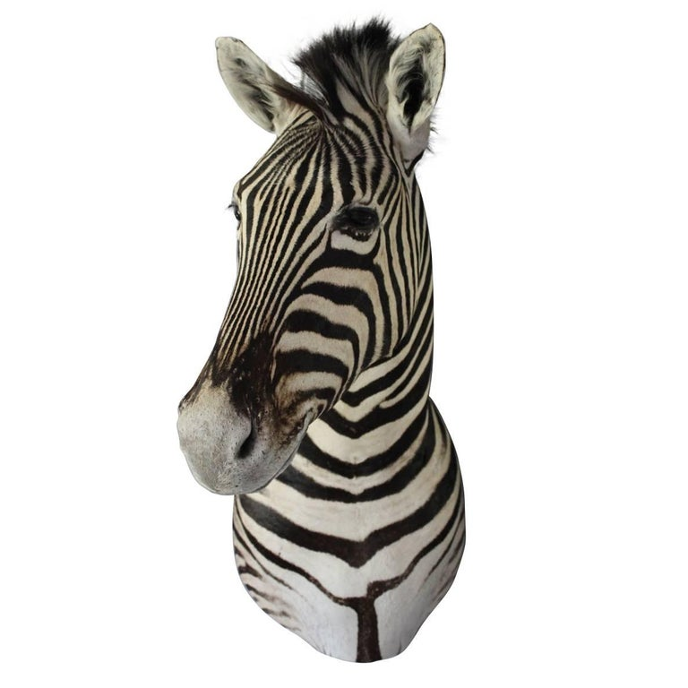 Handsome Taxidermy Zebra Mount For Sale