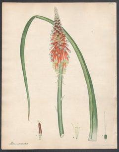 Aletris sarmentosa - Creeping-rooted Bastard Aloe, Andrews botanical engraving