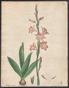 Antholyza spicata - Spike-flowered Antholyza, Andrews botanical engraving