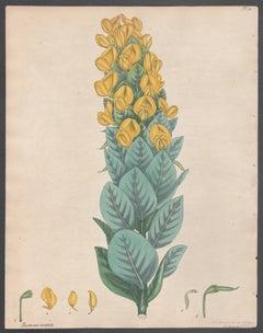 Borbonia cordata - Heart-shape-leaved Borbonia, Andrews botanical engraving