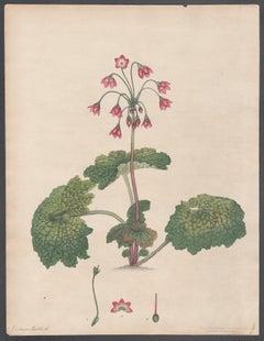 Cortusa Matthioli -  Alpine Sanicle, Andrews botanical engraving
