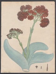 Crassula Obliqua - Oblique-leaved Crassula, Henry Andrews botanical engraving
