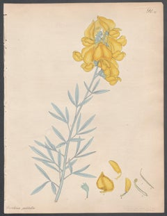 Crotolaria Pulchella - Large-flowered Crotolaria, Andrews botanical engraving