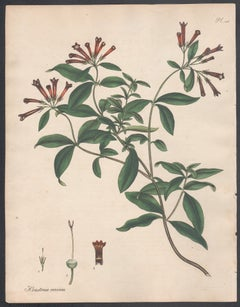 Houstonia coccinea - Scarlet Houstonia, Henry Andrews botanical engraving