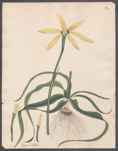 Hypoxis stellata -  Star-flowered Hypoxis, Andrews botanical engraving
