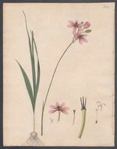 Ixia Columnaris - Columnar-chived Ixia, Henry Andrews botanical engraving
