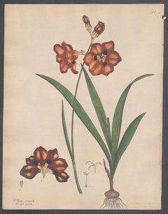Ixia crocata -  Crocus-flowered Ixia, Andrews botanical engraving
