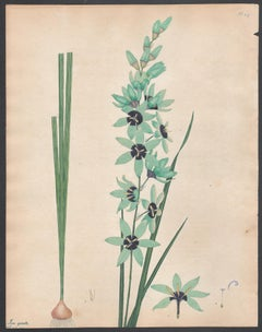 Ixia Spicata - Sea-green Spiked Ixia  Henry Andrews botanical engraving