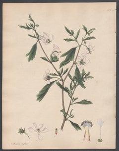 Malva reflexa - Reflex-flowered Mallow, Andrews botanical engraving