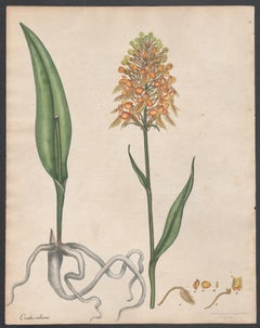 Orchis Ciliaris - Fringed Orchis, Henry Andrews botanical orchid engraving