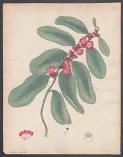 Samyda serrulata - Sawed-leaved Samyda, Henry Andrews botanical engraving