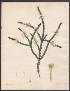 Struthiola Imbricata - Tiled-leaved Struthiola Henry Andrews botanical engraving
