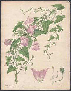 Usteria scandens - Climbing Usteria, Henry Andrews botanical engraving