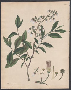 Vaccinium amœnum - Broad-leaved Whortle berry, Henry Andrews botanical engraving