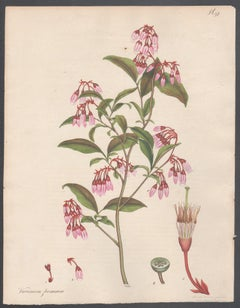 Vaccinium formosum - Red-twigged Whortle berry Henry Andrews botanical engraving