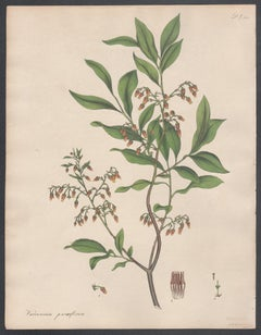 Vaccinium parviflorum - Small-flowered Whortle berry Andrews botanical engraving