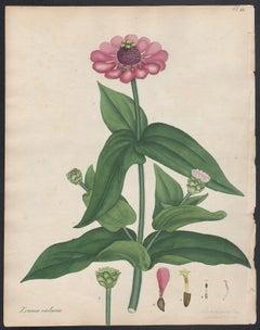 Zinnia violacea - Purple Zinnia, Andrews botanical engraving