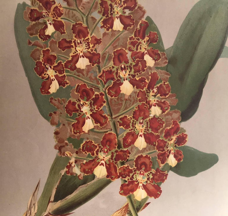 The Orchid Odontoglossum - Print by Henry George Moon