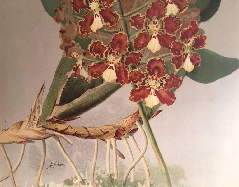 The Orchid Odontoglossum - Realist Print by Henry George Moon