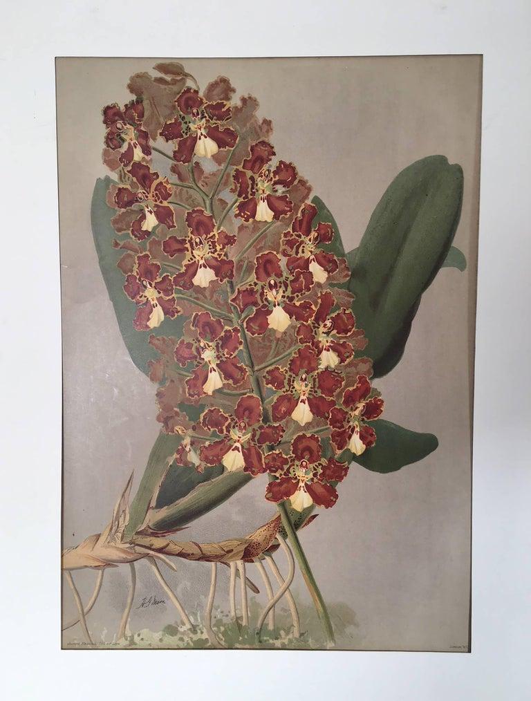 Henry George Moon Still-Life Print - The Orchid Odontoglossum