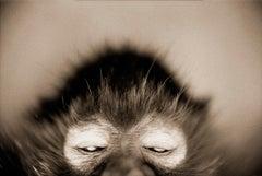 White-cheeked Spider Monkey (Ateles marginatus)