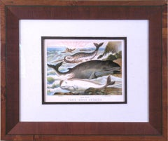 Plate XXVII. Cetacea.  Narwhal, White Whale, Rorqual (Baleen Whales)