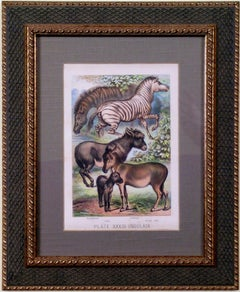 Plate XXXIII.  Ungulata.  Quagga, Ass, Zebra, Wild Ass