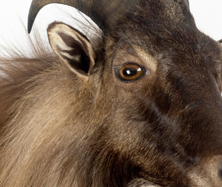 Himalayan Tahr Sheep Mount In New Condition For Sale In New York, NY