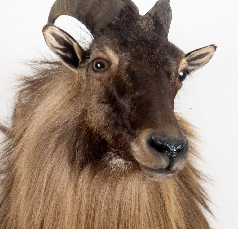 Himalayan Tahr Sheep Mount In New Condition In New York, NY