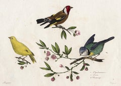 A Finch, Canary and Blue Tit by Pauquet - Hand coloured engraving - 19th century