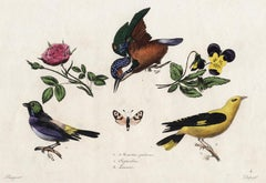 Kingfisher, Paradise Tanager and Oriole by Pauquet - Hand col. engr. - 19th c