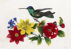 Set of 2:The Magnificent Hummingbird by Pauquet - Hand col. engr. - 19th century