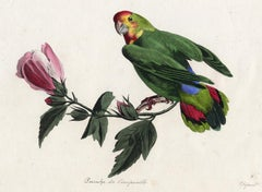 The Parrot called the unseperable by Pauquet - Hand coloured engraving - 19th c