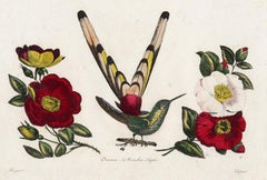 The Saphire Mouthed Hummingbird by Pauquet - Hand coloured engraving - 19th c