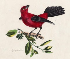 The Scarlet Tanager by Pauquet - Hand coloured engraving - 19th century