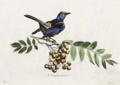 The seven-coloured Tanager by Pauquet - Hand coloured engraving - 19th century