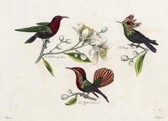 Three different Hummingbirds by Pauquet - Hand coloured engraving - 19th century