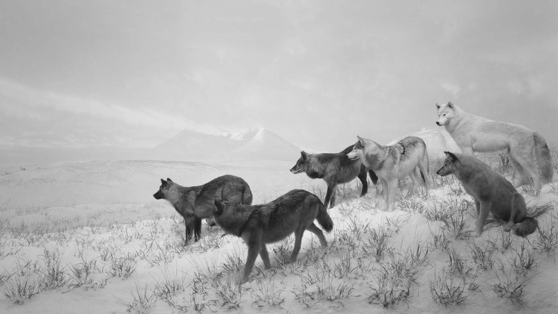 Alaskan Wolves – Hiroshi Sugimoto, Japan, Animal, Landscape, black and white