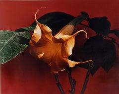 Datura (Trumpet Flower)