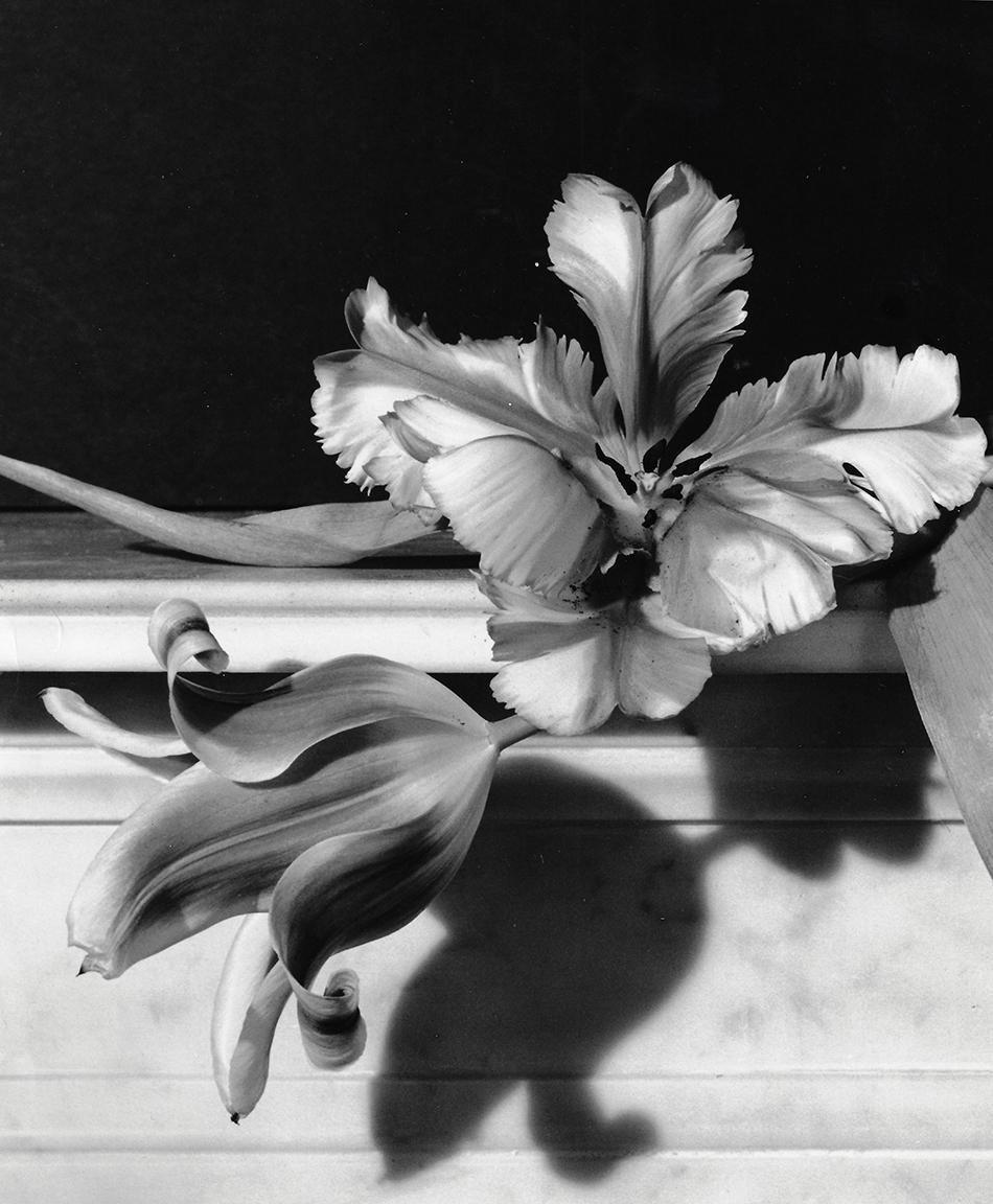 Tulips, Oyster Bay, Long Island