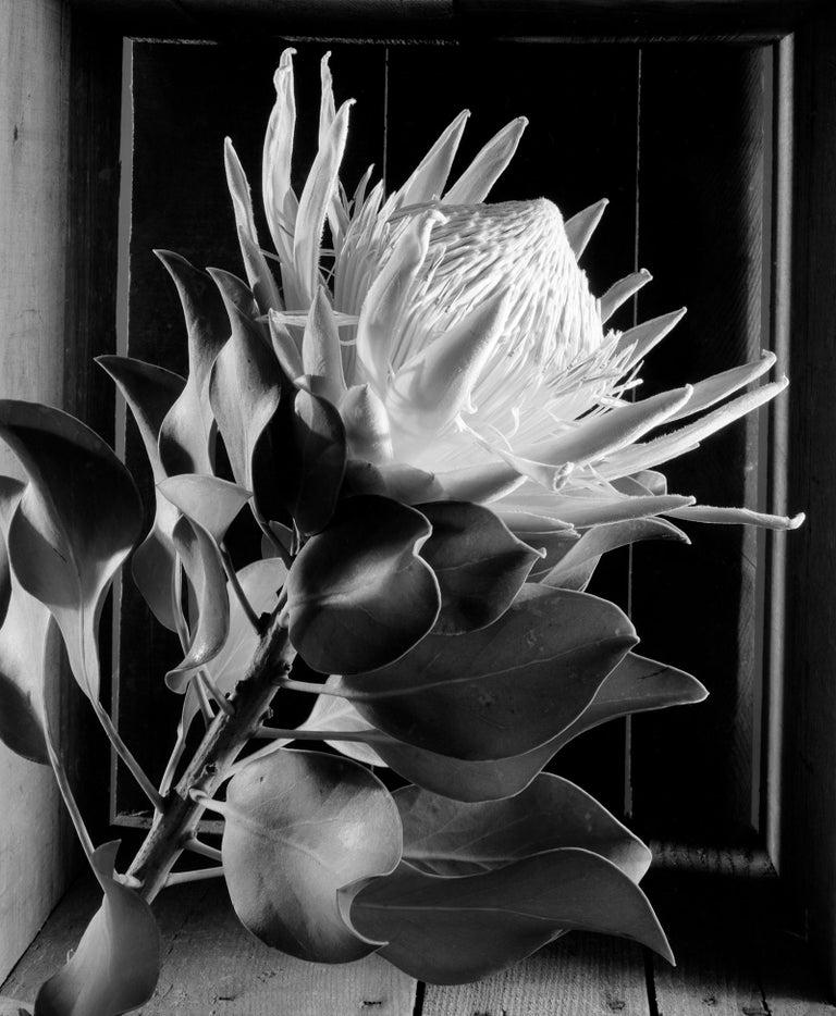 Howard Nathenson Black and White Photograph - King Protea