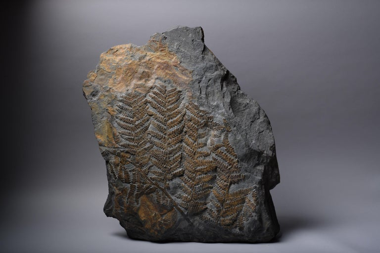 A large and extremely decorative fossilised seed fern (Neuropteris dussartii), from the Piesberg quarry, North-West Germany. Dating to the Carboniferous Period, 359 - 300 million years before present.  The fronds are spread out across the surface