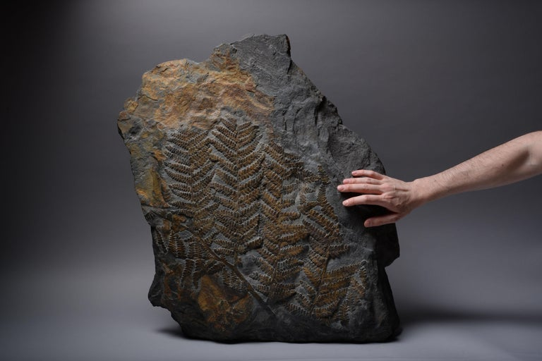 Huge Fossilised Fern Plant, 300 Million Years Old In Excellent Condition For Sale In London, GB