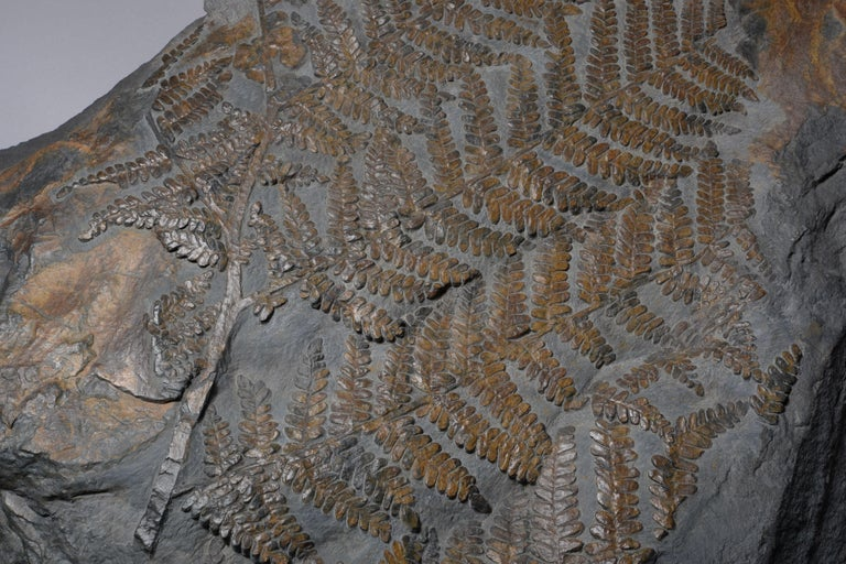 Huge Fossilised Fern Plant, 300 Million Years Old For Sale 1