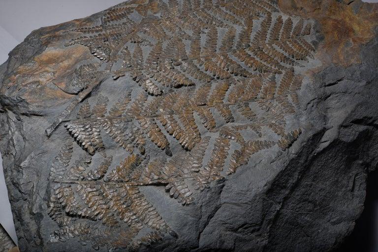 Huge Fossilised Fern Plant, 300 Million Years Old For Sale 2