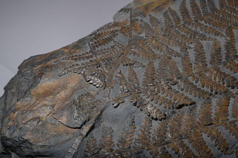 Huge Fossilised Fern Plant, 300 Million Years Old For Sale 3