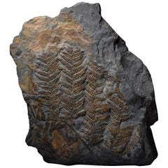 Huge Fossilised Fern Plant, 300 Million Years Old