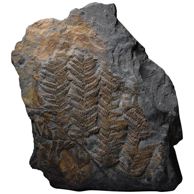 Huge Fossilised Fern Plant, 300 Million Years Old For Sale