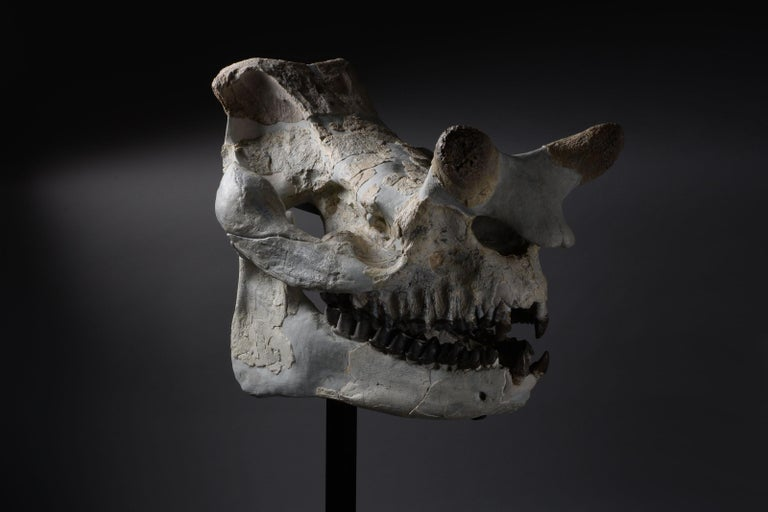Huge Megacerops 'large-horned face' Fossil Skull In Excellent Condition For Sale In London, GB