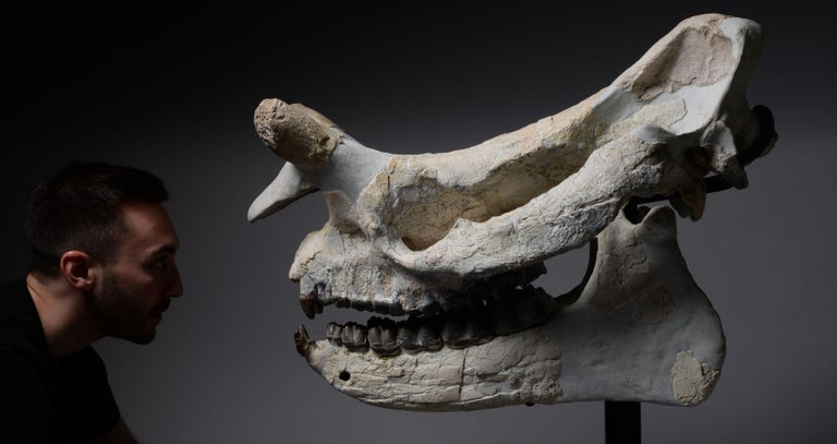 18th Century and Earlier Huge Megacerops 'large-horned face' Fossil Skull For Sale